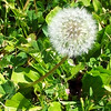 <b>Day 203—22 May 2012 Pretty, in theory</b>  No matter how old I get—or how much I don't want them in <i>my</i> yard—I have to admit that I enjoy seeing a big fluffy dandelion. This one graces the bike path near my home.
