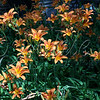 <b>Day 232—20 June 2012 What a mess!</b>  Isn't it glorious?! This is still just a portion (<i>maybe</i> half) of the patch of lilies in our back yard. I just can't be in a bad mood when they're all crazy out there.