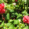 <b>Day 309—5 September 2012 Party on my porch</b>  We bought a mess of these Fiesta Olé rose double impatiens, in several colors, for this summer's porch planter. They've been awesome—getting full and staying beautiful all season long. Olé, indeed!