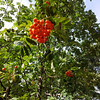 <b>Day 324—20 September 2012 Mixing it up</b>  Melissa and I didn't get our Wednesday morning walk in; but, we were glad to take a Thursday afternoon stroll. We took a different route than ever before, and found these orange berries. Missy's getting really used to me now—she anticipated the photo-op and stopped walking before I did!