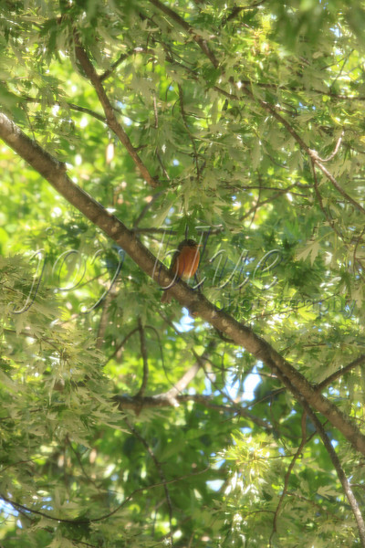 <b>Day 237—25 June 2012 Red robin</b>  This afternoon, I saw a strange orange/red oval on the tree branch outside my window. The leaves were covering much of what turned out to be this portly robin.