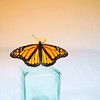 Monarch Butterfly<br /> <br /> 189/365