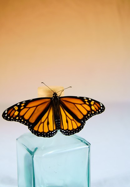 Monarch Butterfly<br /> <br /> 188/365