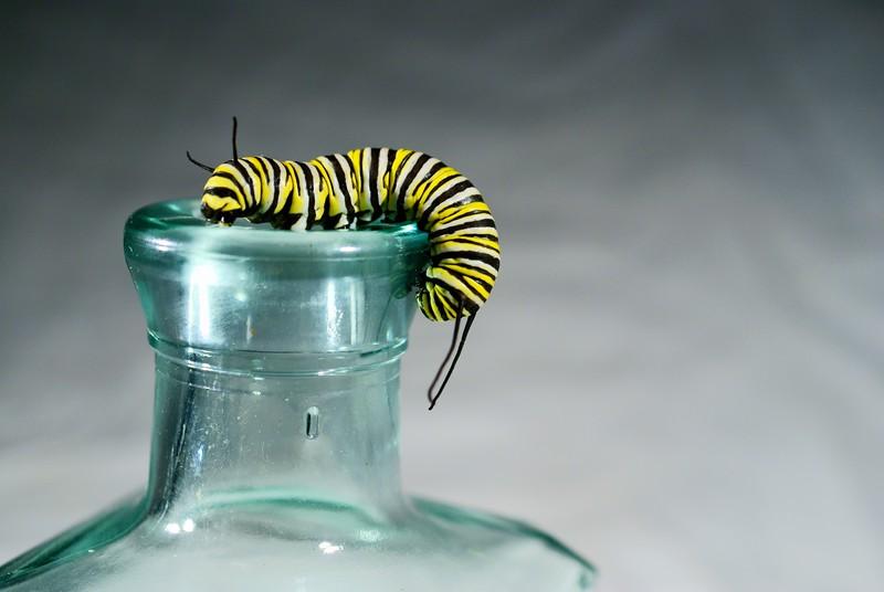 Monarch Caterpillar<br /> <br /> 171/365