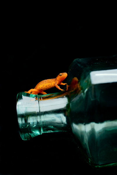 Red Spotted Newt<br /> <br /> 159/365<br /> Newt chilling on my bottle.