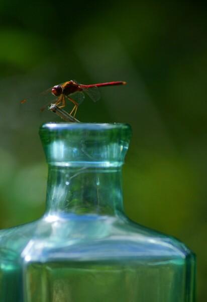 Dragonfly<br /> <br /> 187/365