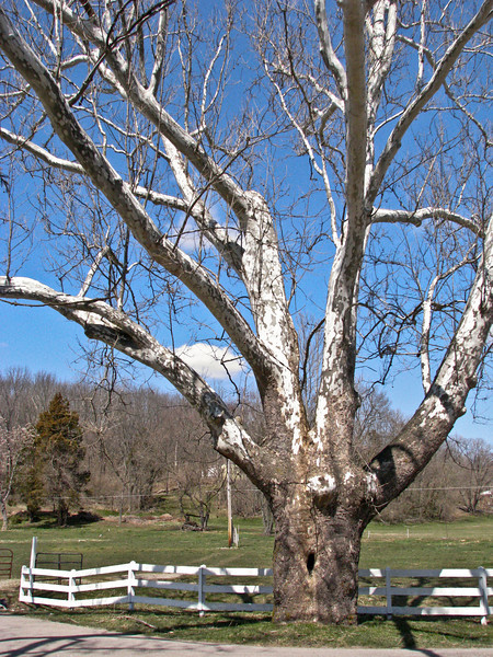 149. TREE. One of the beautiful antiques in Waynesville OH.