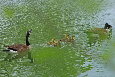 Covington, KY Geese