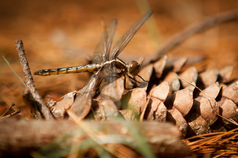 "Dragon Fly - Week 24 ""Monster""<br /> <br /> I got lucky and happened upon this photogenic dragonfly while walking in the woods this week.  It was pretty monstrous to begin with, and this close-up really shows that off."