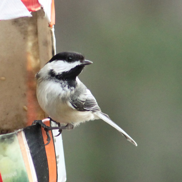 Black Cap Chickadee - 090/365