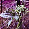 Cucumber Flower - 244/365