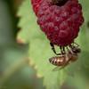 Raspberry Buzz - 206/365