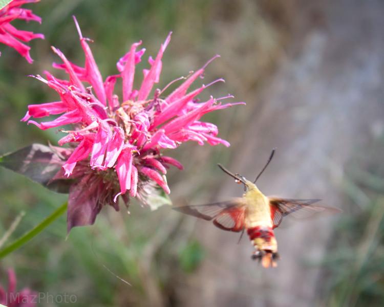 Hummingbird Moth - 199/365