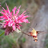 Hummingbird Moth - 199/365