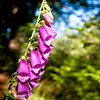 The Foxglove - 170/365