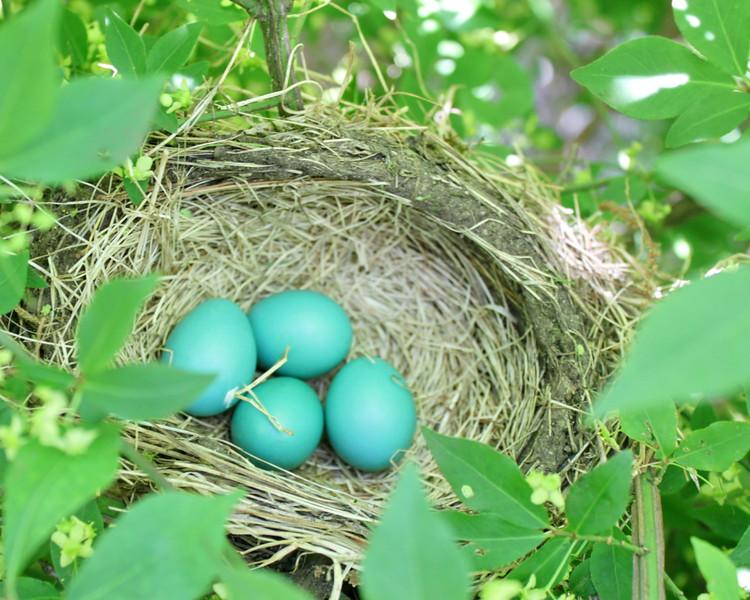 Robin Eggs - 136/365
