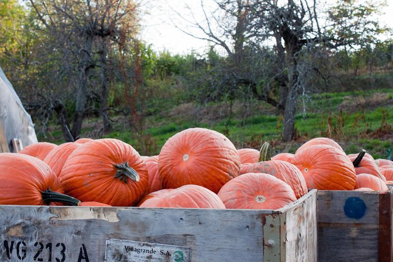 Pumpkins at the Apple Orchard - 264/365