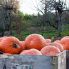 Pumpkins at the Apple Orchard - 264/365