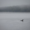 Morning Loon - 227/365