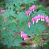 Bleeding Hearts - 125/365