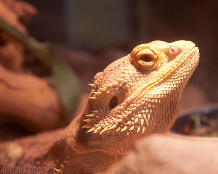 Puff the Bearded Dragon - 162/365