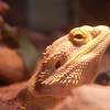 Puff the Bearded Dragon - 162/365