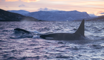 Orca's & Whales