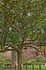 DSC_9556 Governor's Mansion Tree