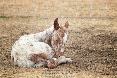 01/02/15 - Ember was already on the ground when I arrived, and was sleeping.  Being born is exhausting!!
