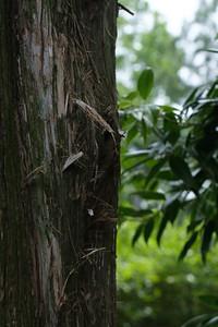 Some type of Ceder Tree bark
