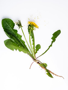 a dandy botanical