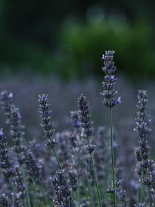 Lavender  Sentry
