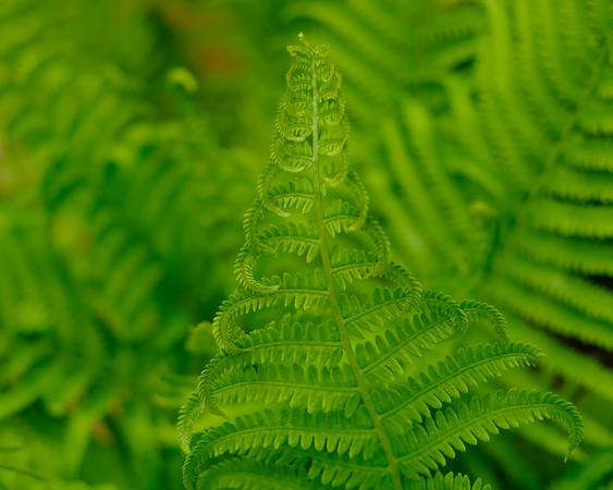 Green, green my fern is green....