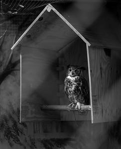 one eyed horn owl