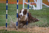 March 6 - Mt Diablo AKC agility trial (mudfest)  It had been pouring rain and a huge puddle emerged at the weavepole entrance.  The dogs were putting on the brakes and throwing water right and left.  This shot shows the water and the shavings flying as the dog hit the entry.