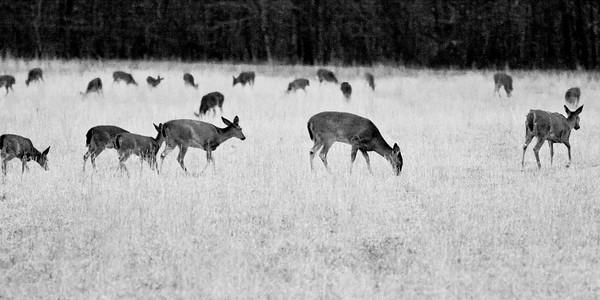 Herd of Whitetail Deer