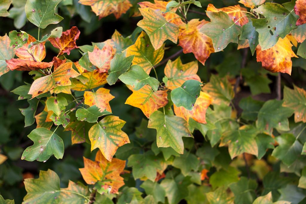 Leaves Turning Orange
