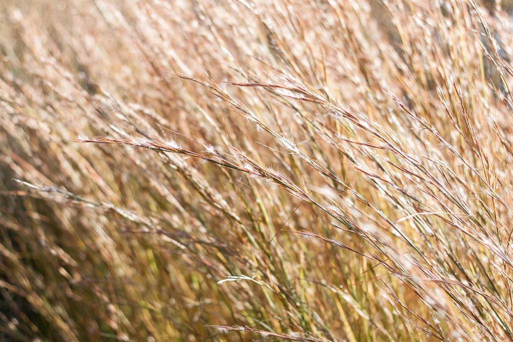 Autumn Grasses Near Jones Pond, Caledon