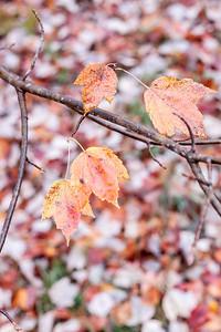 Last Leaves of My Sunset Maple Tree