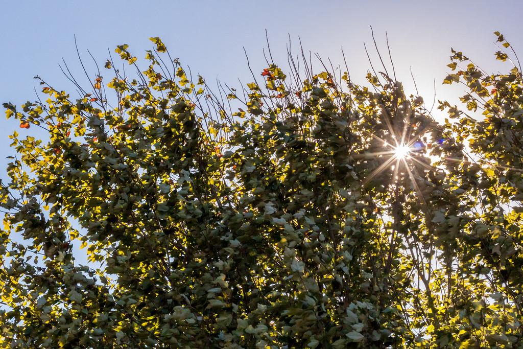 Wind in My Sunset Maple Tree