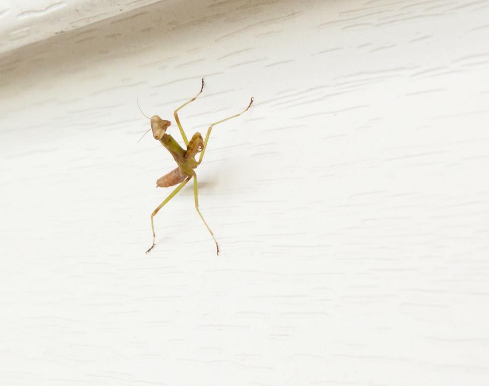 Little Praying Mantis (?)
