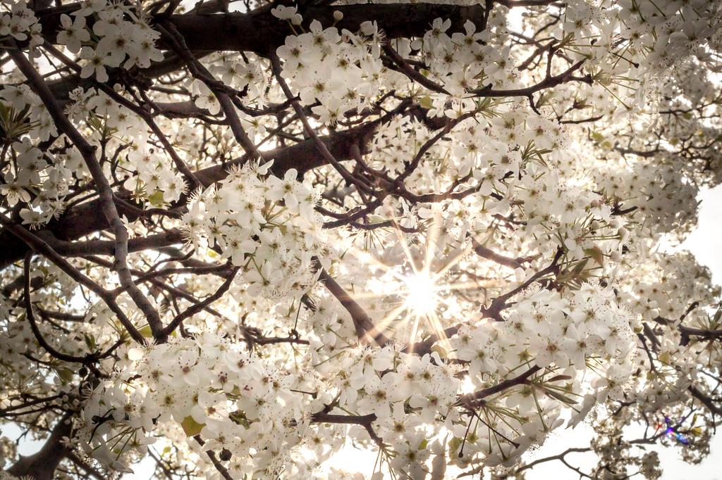 Sun Through Blossoms