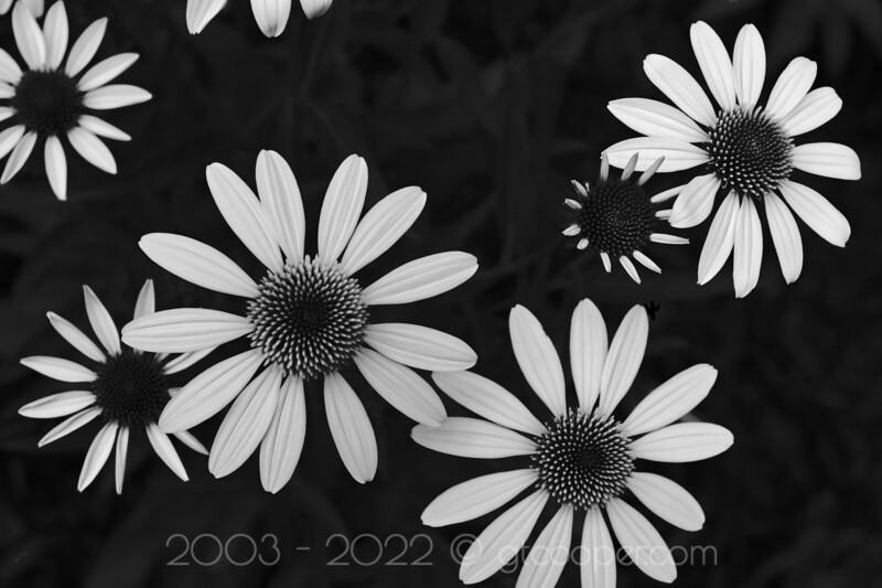 Echinacea on Textured Black
