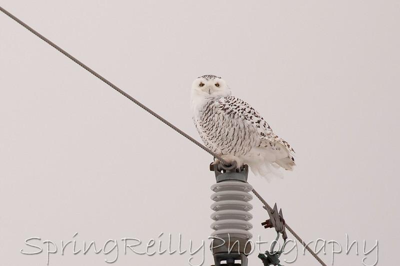 Snowy Owl-IMG_4873 copy