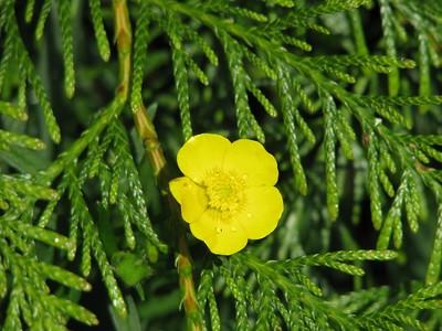 Buttercup Cedar Tree  A rare plant indeed. :)