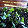 Follow the Sun<br /> <br /> This year instead of getting nursery-grown plants for my balcony, I planted seeds. They're sprouting well, but showing a definite leaning towards the primary light. I shall fool them by turning the planter around regularly!