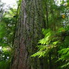 King of the Forest<br /> <br /> This Douglas Fir is the largest in the Cathedral Grove near Port Alberni, B.C. It's 76 meters tall, 9 meters in circumference at the base, and estimated to be 800 years old. No world records there, but still an impressive accomplishment.<br /> <br /> It looks really freakin' heavy. Not something you want falling on you.