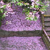 Pink snow<br /> <br /> I wish flowering trees lasted longer.