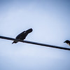 Two Crows (336-366)