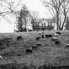 Front Yard Sheep (344-366)
